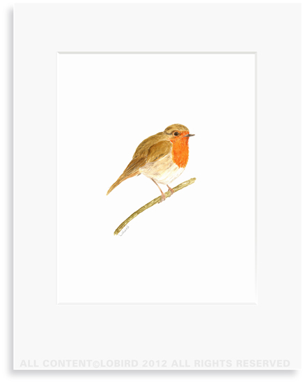 British Robbin - 8 x 10 Print in 11 x 14 Mat