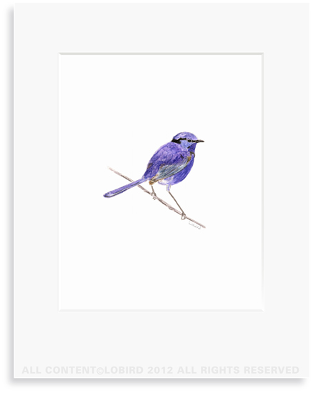 Purple Wren - 8 x 10 Print in 11 x 14 Mat