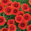 "gaillardia Red Sun ♦ 14""<br>^SOLD OUT^"