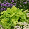 "heuchera Lime Ruffles ♦ 11"" √"