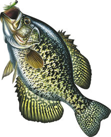 Car/Truck Magnet Crappie Fish