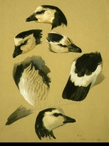 THORBURN:  BARNACLE GOOSE STUDY</a><br><b>- SOLD</b>