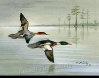 BIERLY:  REDBREASTED MERGANSERS