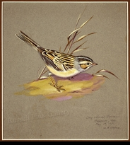 WEBER:  CLAY-COLORED SPARROW FIELD STUDY</a><br><b>- SOLD</b>