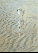 HARRIS-CHING:  RED-BILLED GULL</a><br><b>- SOLD