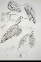 HARRIS-CHING:  WHITE-FACED HERON</a><br><b>- SOLD</b>