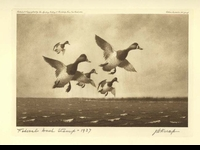 4 -- 1937 -- Knap -- Greater Scaup