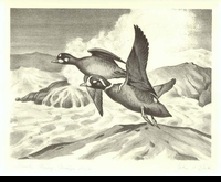 "<font color=""#808080"">19 -- 1952 -- Dick -- Harlequin Ducks</font>"