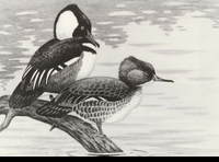 "<font color=""#808080"">35 -- 1968 -- Pritchard -- Hooded Mergansers</font>"