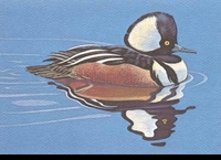 "<font color=""#808080"">45 -- 1978 -- Gilbert -- Hooded Merganser</font>"