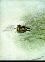 HARRIS-CHING:  WOOD DUCK</a><br><b>- SOLD</b>