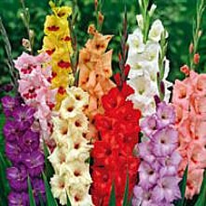 Gladiolus 'Mixed' Value - 100