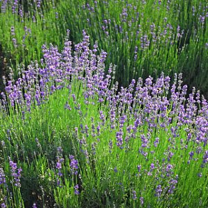 Common Lavender Seeds