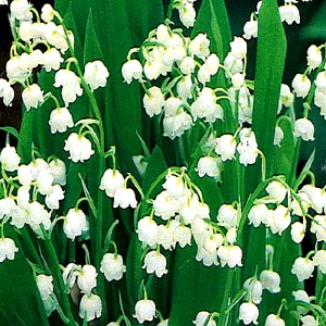 Lily of the Valley Seeds