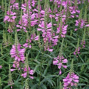 Obedient Plant Seeds