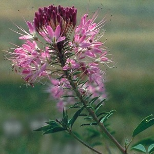 Rocky Mountain Bee Plant Seeds