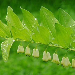 Solomon's Seal Seeds