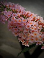 Butterfly Bush 'Peach Cobbler'