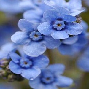 Chinese Forget Me Not Seeds