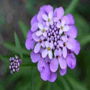 Candytuft Seeds