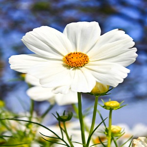 Cosmos White Purity Seeds