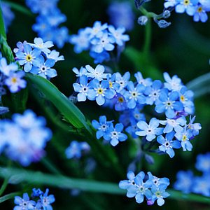 Forget Me Not Perennial Seeds