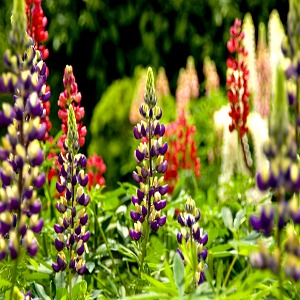 Lupine Russell Seeds