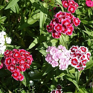 Sweet William Seeds