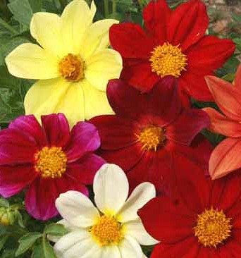 Dahlia 'Dwarf' Mix Seeds