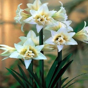 Amaryllis 'Jewel'