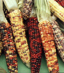 how to grow ornamental indian corn