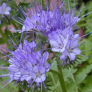 Lacy Phacelia Seeds