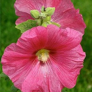 Rose Mallow Seeds
