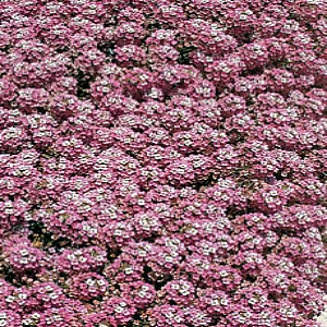 Sweet Alyssum Royal Carpet Seeds