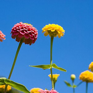 Zinnia Cut n' Come Again Seeds