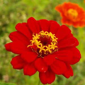 Zinnia Red Seeds