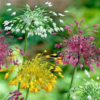 Allium Bulb 'Fireworks Mix'
