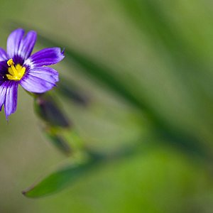 Blue Eyed Grass Seeds
