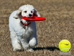 FLYING DISC-Dog Toy