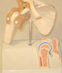 Model of the shoulder joint coronal section