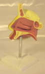Expansion dissection model of the nasal cavity