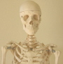 Life size male skeleton