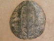 "Large Genuine Natural Turtle Shell 13"" (b)"