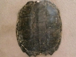 "Large Genuine Natural Turtle Shell 14""  (f)"