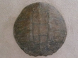 "Large Genuine Natural Turtle Shell 14""  (g)"