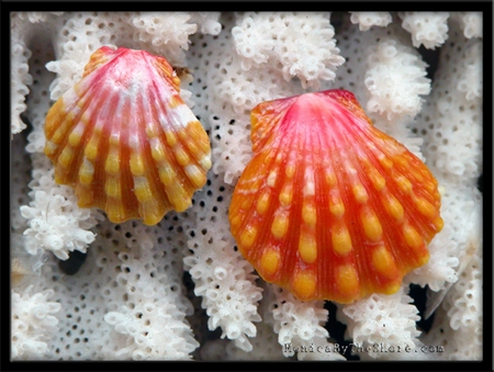 Classic Pink & Gold Hawaiian Sunrise Shell Keiki & Matching Mature Sunrise Shell