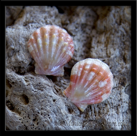 "Custom for ""May"" Tiny Baby Hawaiian Surise Shell Post Earrings"
