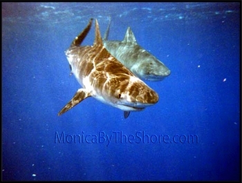 Hawaiian Tiger Shark Pair