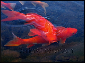 Dole Royal Koi Fish