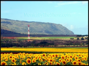 North Shore Waialua Sunflowers